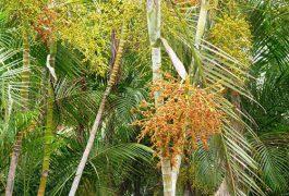 cây cau vàng