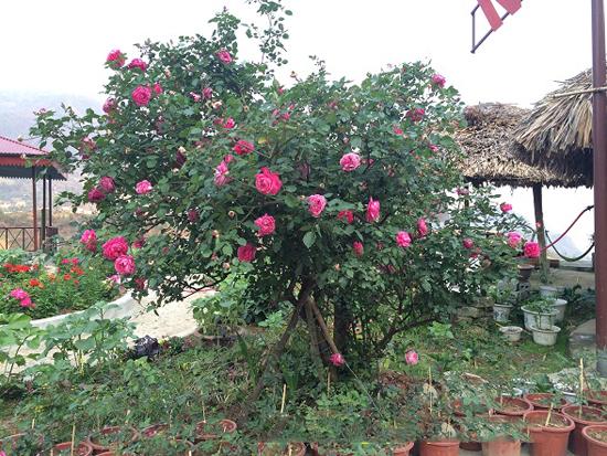 cây hồng cổ