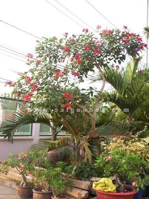 Cây osaka đỏ