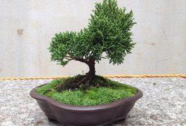 cây tùng bách